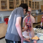 Student attempts to put organs in proper place in the human anatomical model