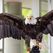 Patriot the bald eagle wants to take flight